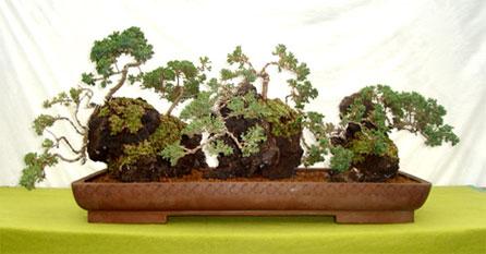 Tu bonsai 30 a os produciendo bonsai en chile venta for Viveros frutales chile