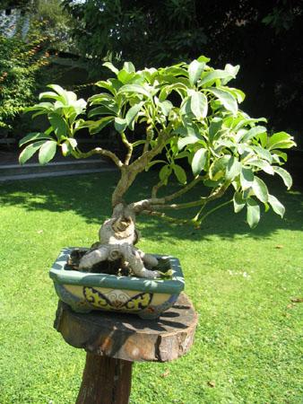 Cuidados carbonero,Schefflera actinophylla, Cheflera o chiflera.(Saman) Chiflera